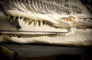 Unique pliosaur on display at Bristol Museum