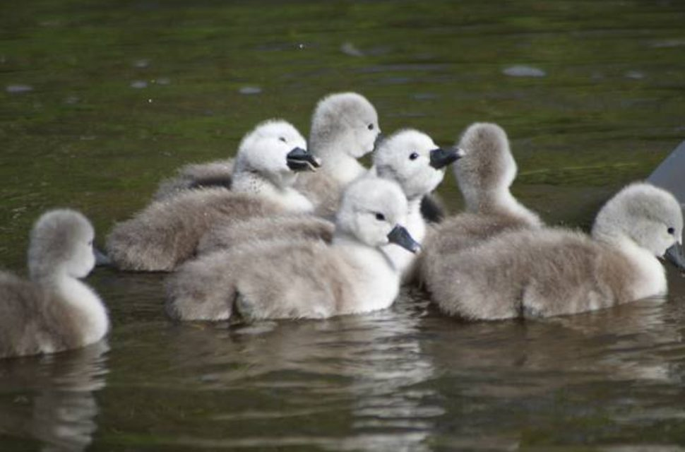 Palace Cygnet Naming Competition Results Announced!