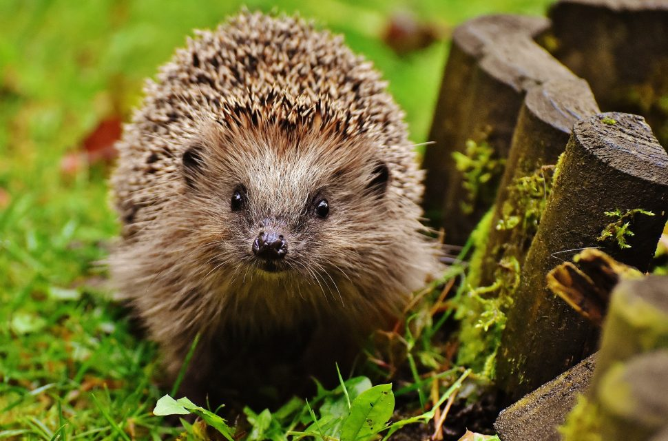 Please #rememberhedgehogs on Bonfire Night