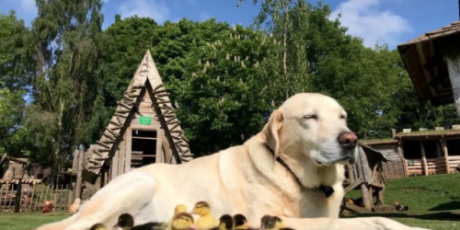 Dog welcomes fatherhood by adopting ducklings