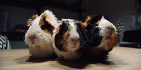 It's Guinea Pig Appreciation Day!