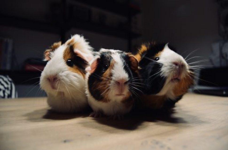 It's Guinea Pig Appreciation Day!