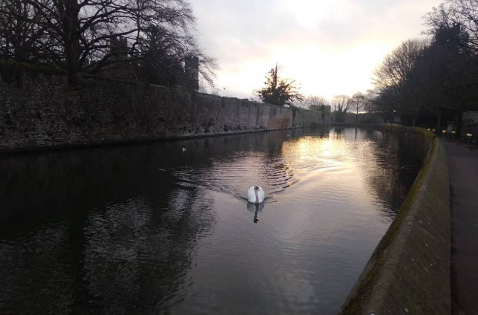 Prodigal Swan Returns to The Bishop's Palace
