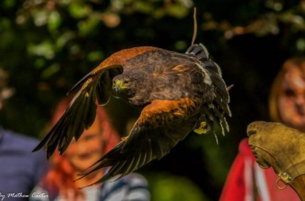 Medieval Falconry at The Bishop's Palace