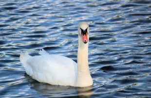 Palace Welcomes New Pair of Swans to Historic Moat