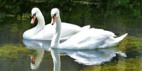 New Swans to be Named by Public Competition