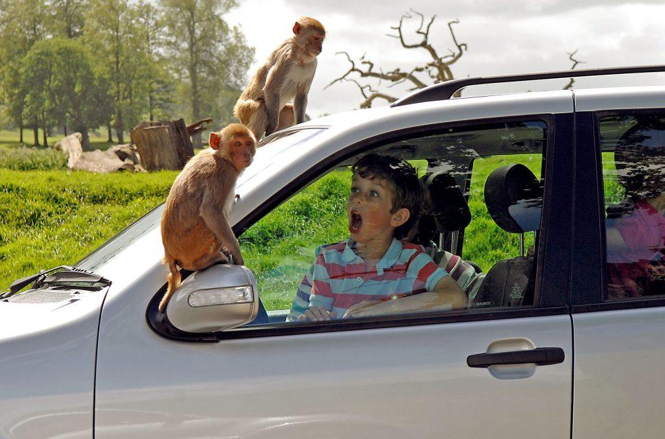 Longleat Safari Park Open For Visitors