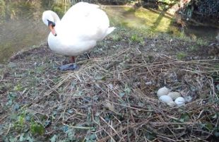 Swan Cam Now Live at The Bishop's Palace