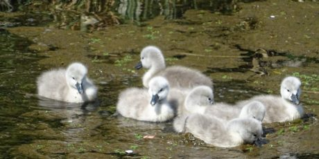 Cygnets to be Named by Public at The Bishop's Palace