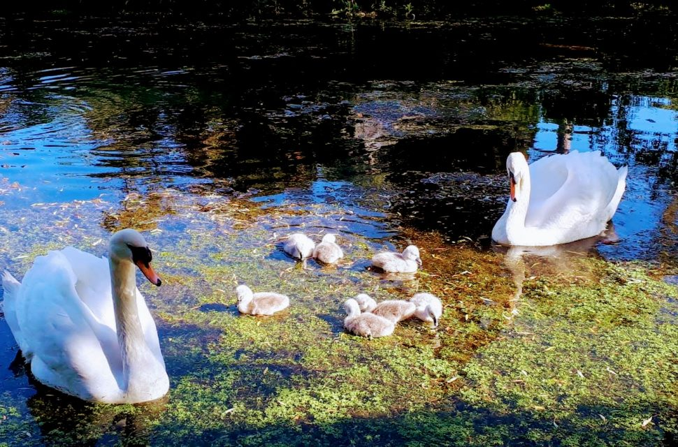 Cygnets Named by the Public at The Bishop's Palace