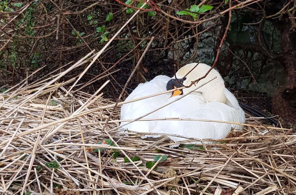 Swan Eggs Laid and Swan Cam Now Live at The Bishop's Palace