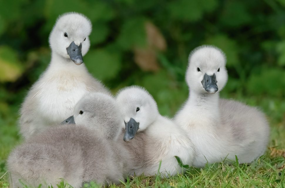 Cygnet Naming Competition at The Bishop's Palace